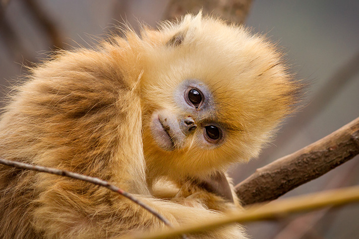 Disneynature's Born in China offers amazing cinematography, lively narrative and beautiful creatures including the Golden Snub-Nosed Monkey. - SahmReviews.com #BornInChina #Cars3Event