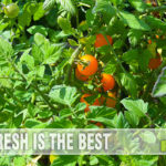 Fresh tomatoes are better than store bought and surprisingly not hard to grow with these beginner tips to caring for tomato plants. - SahmReviews.com
